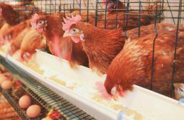 Светодиодные светильники Uniel для птицеводства